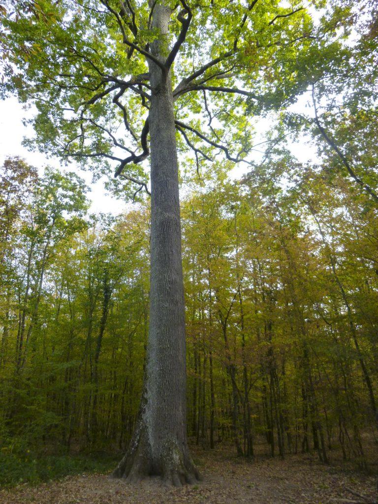 Chêne majestueux en forêt de Fonrtainebleau