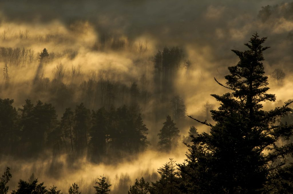 foret dans la brume