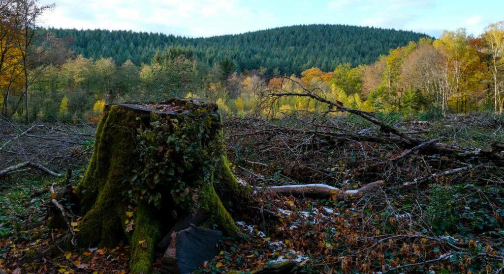 Coupe rase dans le Morvan. La souche d'un beau chêne en premier plan.